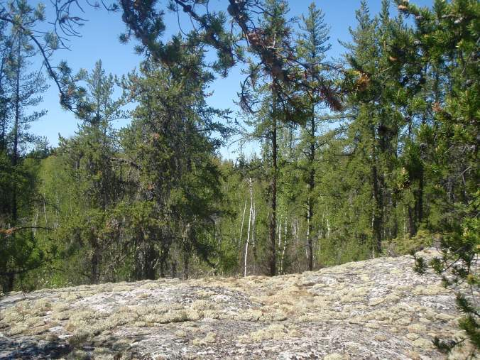 An open rocky area covered with lichen amidst a jack pine forest in northeastern Alberta.