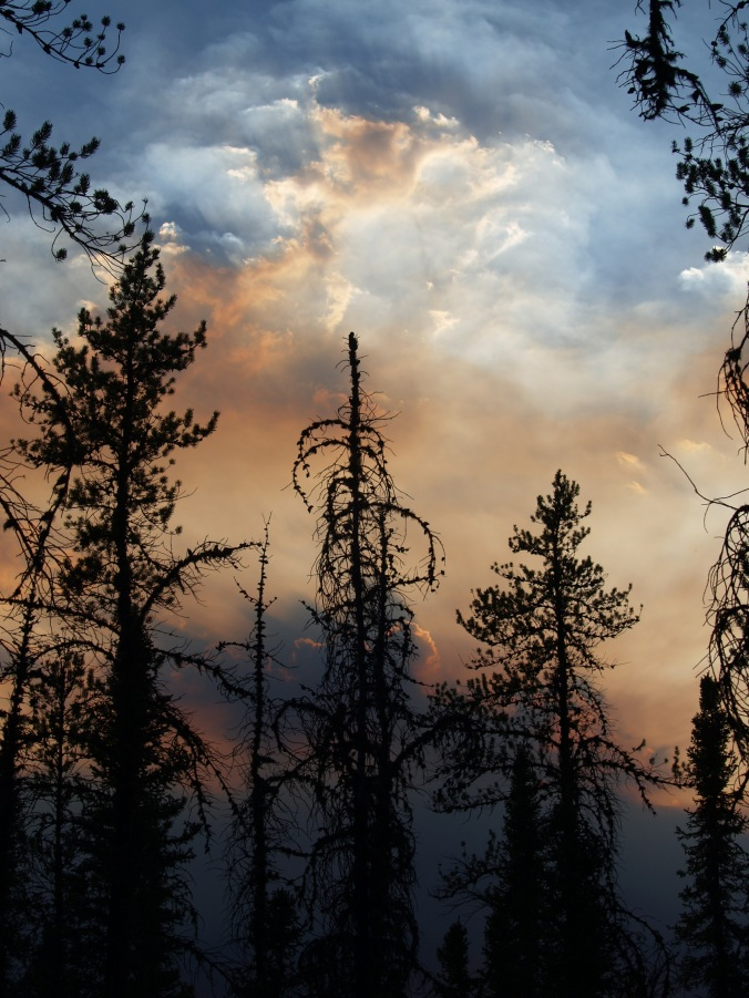 Jack pine trees against the backdrop of a smoky sunset. Jack pine are well adapted to forest fires, the cones will open and drop their seeds after a fire.