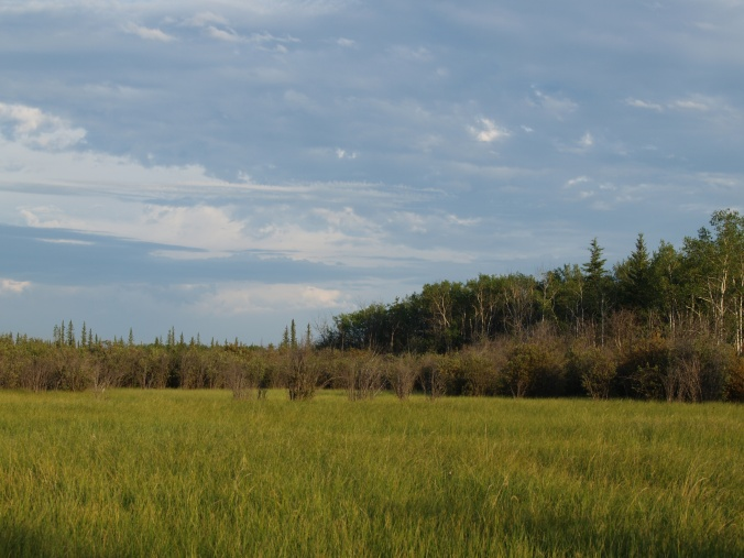 An open grassy spot surrounded by tall shrubs, evidence that the boreal is not just an endless carpet of trees!