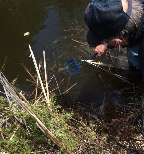 Using a net to scoop the strands of Yellow perch eggs out of the pond.