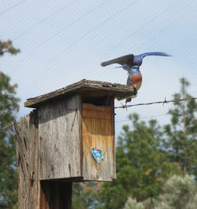 A bad day for Webster: Western bluebird male attacks Webster, my bluebird decoy.