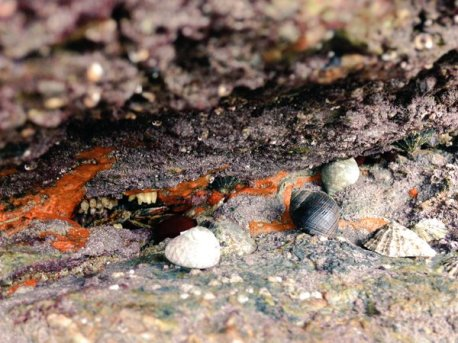 This picture shows the great diversity of the rocky shore as common limpets, a common periwinkle, dog whelk, toothed topshell, a beadlet anemone and dog whelk eggs can be seen on a rock face encrusted by pink coralline algae and orange breadcrumb sponge!)