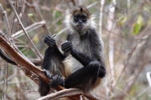 A Black-handed Spider Monkey (Ateles geoffroyi) snacking on a seed pod in Santa Rosa National Park.