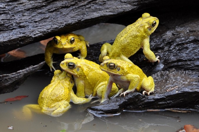 A group of male Yellow Toads (Incilius luetkenii) at a breeding pond in Santa Rosa National Park.