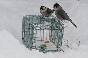 gray jays on top of the trap