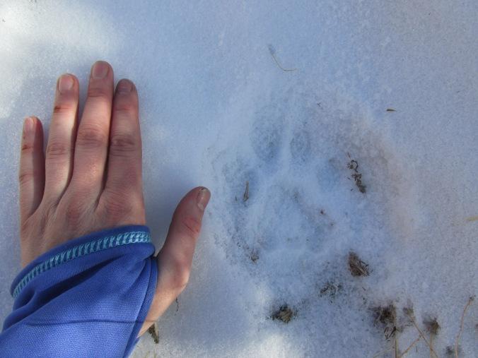 human hand beside a snow leopard print