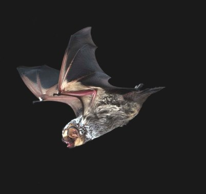 hoary bat in flight