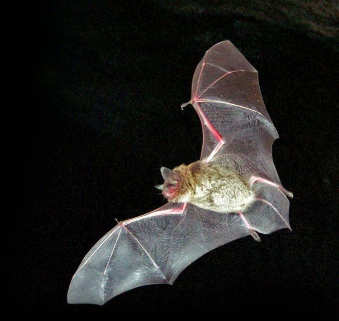 little brown myotis bat in flight