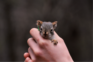 baby squirrel in hand with green ear tag