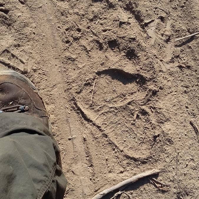 European brown bear tracks found while out on survey in rural Transylvania.