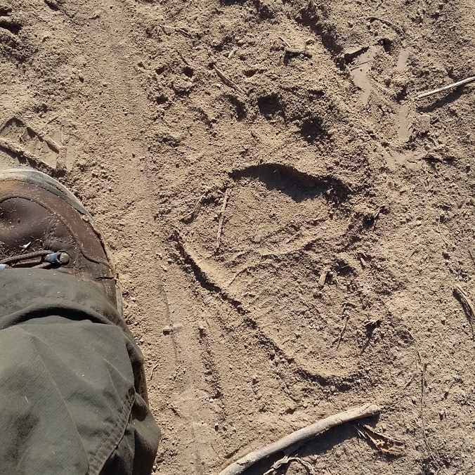 European brown bear tracks found while out on survey in rural Transylvania.
