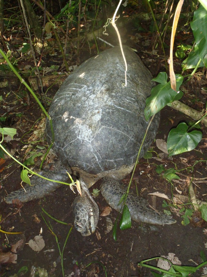 A green turtle carcass. Jaguar predation of turtles seems to be on the rise, and is being monitored in Costa Rica.