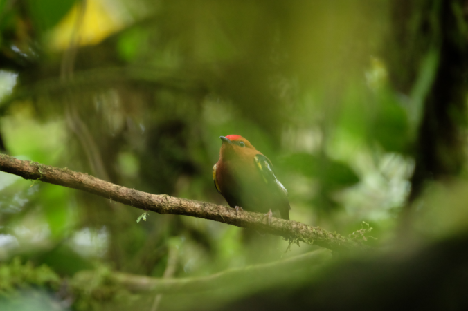 The elusive Club-winged Manakin on his display perch at Milpe.