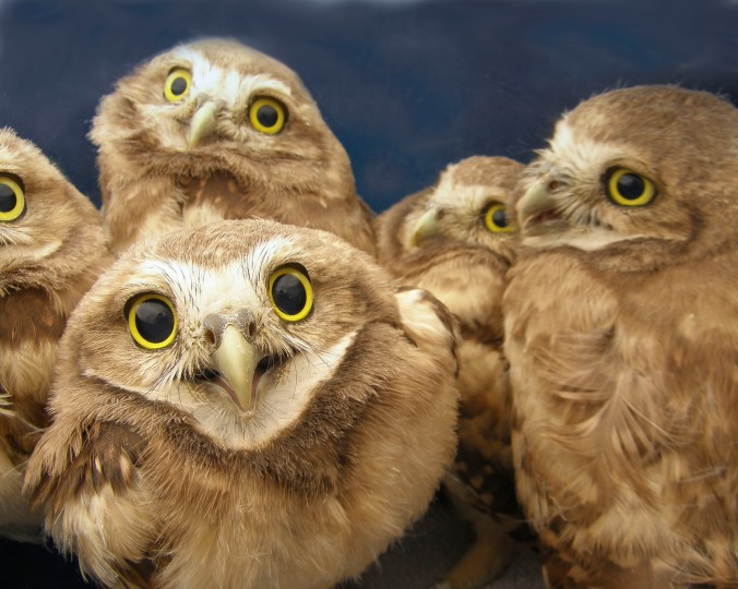 4-week-old burrowing owls after banding. (Photo credit: Lauren Meads.)