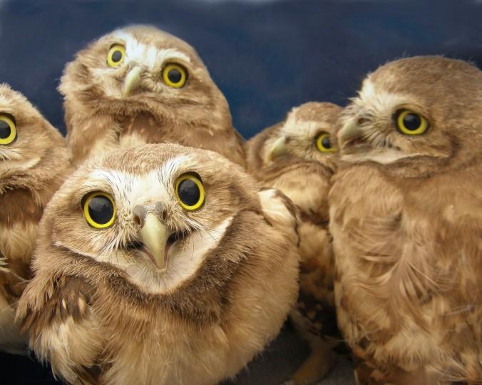 4-week-old burrowing owls after banding. (Photo credit: Lauren Meads.)