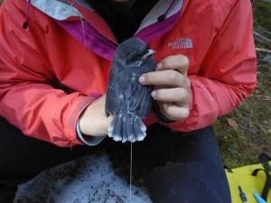 Canada Jay in hand